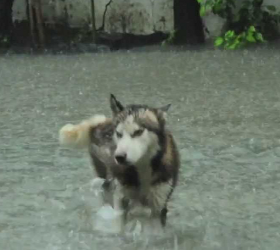 Malamute walking in Texas flood waters
