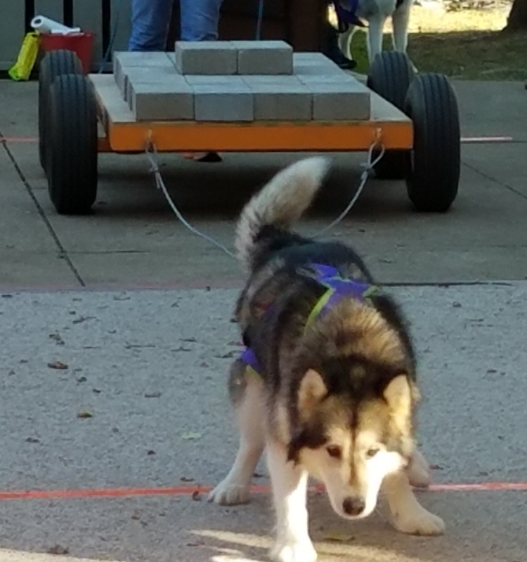 Malamute Pulling Weight at National Weight Pull Competition