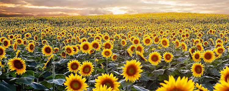 Kansas Sunflower Field