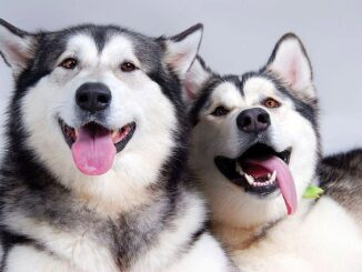 Two malamutes for National Specialty Page